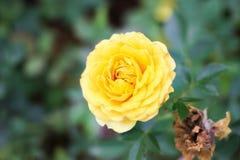 Fleur jaune Photo libre de droits