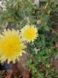 Fleur jaune image libre de droits
