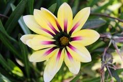 Fleur jaune asiatique photos libres de droits