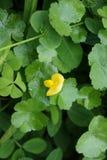 Fleur jaune au lac Photos stock
