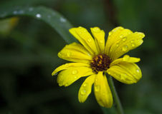 Fleur jaune avec des baisses de pluie Photographie stock libre de droits
