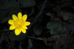 Fleur jaune avec des gouttes de l'eau sur le fond noir image libre de droits