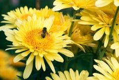Fleur jaune avec l'abeille Images stock