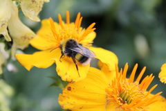 Fleur jaune avec l'abeille Photos libres de droits