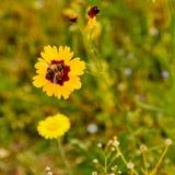 Fleur jaune avec l'insecte Photo stock