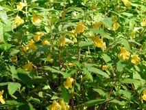 Fleur jaune avec la rosée de matin, Lithuanie Images libres de droits