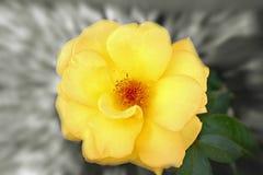 Fleur jaune avec le zoom Photos stock