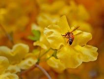 Fleur jaune avec une abeille Image libre de droits