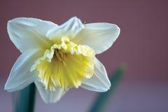 Fleur jaune blanche de jonquille Photographie stock