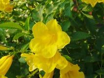 fleur jaune Cat& x27 ; griffe de s photographie stock libre de droits