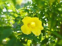 fleur jaune Cat& x27 ; griffe de s photos libres de droits