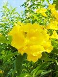 fleur jaune Cat& x27 ; griffe de s photo libre de droits
