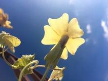 Fleur jaune contre le ciel bleu Image libre de droits