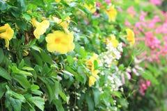 Fleur jaune d'Allamanda Images stock