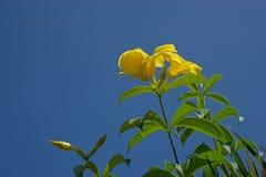 Fleur jaune d'allamanda dans le jardin photos libres de droits
