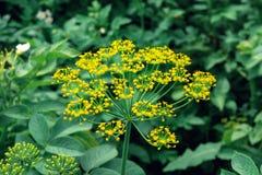 Fleur jaune d'aneth Image stock