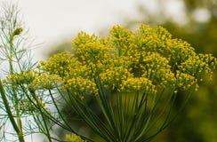 Fleur jaune d'aneth dans le jardin, fin jaune d'aneth, jour d'été Photos stock