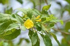 Fleur jaune d'arbre d'aurea de Tabebuia de gaudichaudi de Tecoma images libres de droits