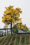 Fleur jaune d'or d'arbre de fleur de fleur images libres de droits