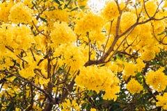 Fleur jaune d'or d'arbre de fleur de fleur image stock