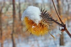 Fleur jaune d'automne sous la neige Stationnement de ville Le gel de matin, humidité image libre de droits