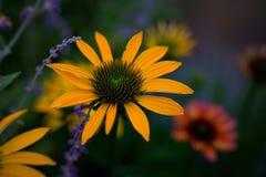 Fleur jaune d'Echinacea en pleine floraison Photographie stock libre de droits