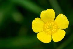 Fleur jaune d'isolement Photographie stock