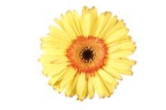 Fleur jaune d'isolement de marguerite de gerbera Image libre de droits