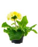 Fleur jaune d'isolement de primevère Photographie stock libre de droits