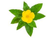 Fleur jaune d'isolement sur le blanc photo stock