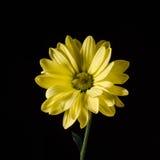 Fleur jaune d'isolement sur le noir Plan rapproché Photo libre de droits