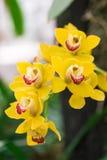 Fleur jaune d'orchidée en nature tropicale de forêt images libres de droits