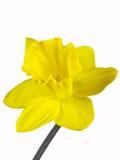Fleur jaune d'une jonquille d'isolement sur le fond blanc photos libres de droits