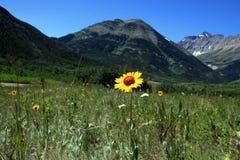 Fleur jaune dans la roche canadienne Images libres de droits