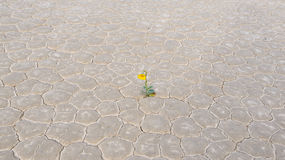 Fleur jaune dans le désert, playa de champ de courses image stock