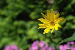 Fleur jaune dans le jardin Photo stock