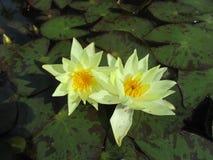 Fleur jaune dans un étang photos stock