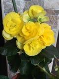 Fleur jaune de bégonia Images libres de droits
