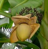 Fleur jaune de banane Photographie stock libre de droits