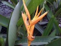 Fleur jaune de banane Image libre de droits