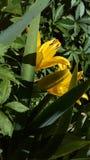 Fleur jaune de base images stock