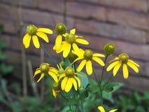 Fleur jaune de cône dans le jardin avant Photographie stock
