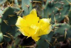 Fleur jaune de cactus Photographie stock libre de droits