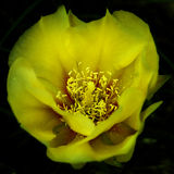 Fleur jaune de cactus Images libres de droits