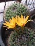 , Fleur jaune de cactus Image libre de droits