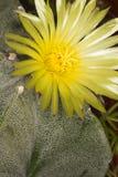 Fleur jaune de cactus du genre Astrophytum photographie stock libre de droits