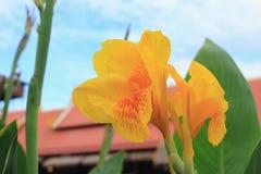 Fleur jaune de Canna Photo stock
