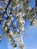 Fleur jaune de cerise de cornaline Photos stock