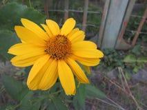 Fleur jaune de champ photos libres de droits