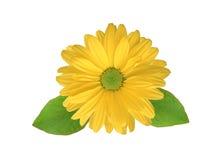 Fleur jaune de chrysanthème Photographie stock libre de droits